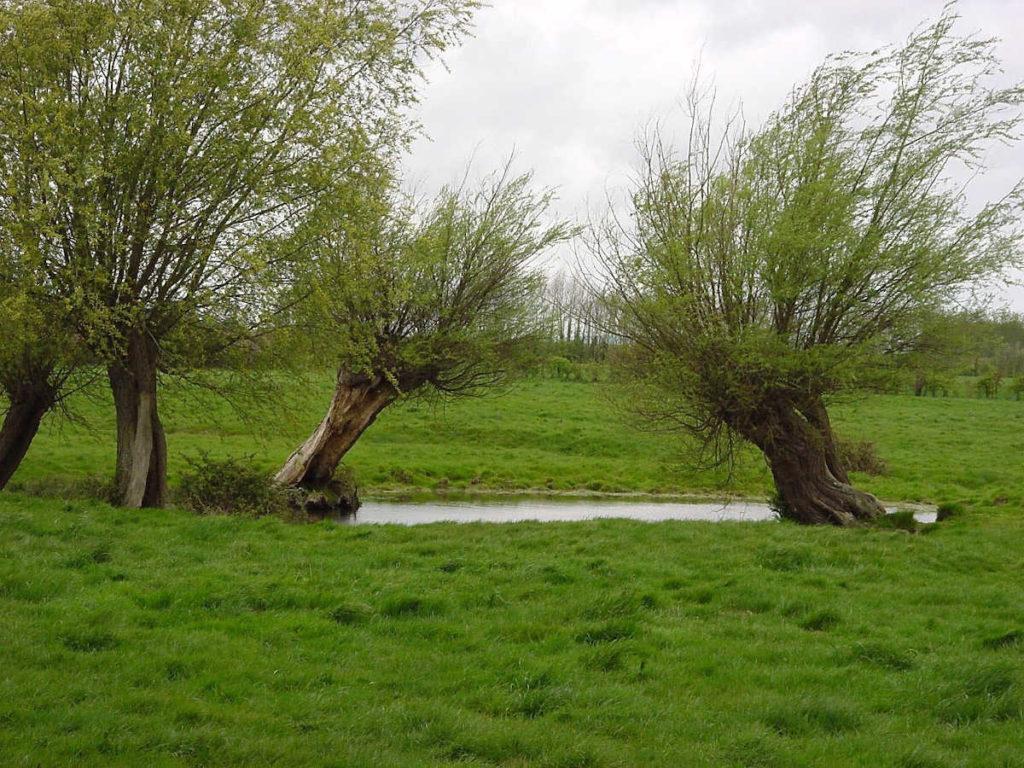 Deux arbres têtards au bord d'une mare dans une prairie
