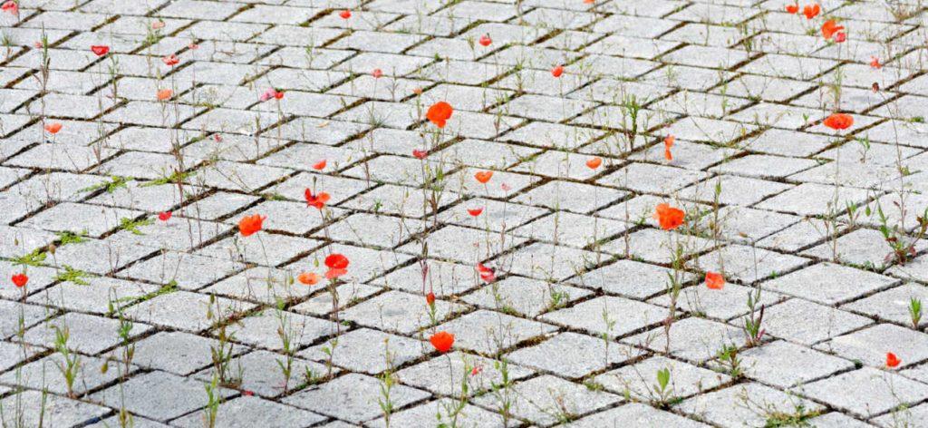 Nature in the city : poppies growing between cobblestones
