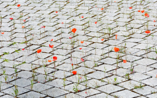 Nature en ville : des coquelicots poussent entre les pavés